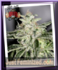 Sin City Petroleum Nightmare Fem 7 Weed Seeds